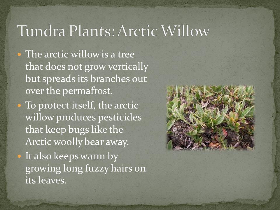 Tundra Plants: Arctic Willow