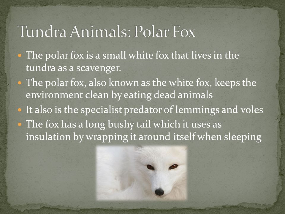 Tundra Animals: Polar Fox