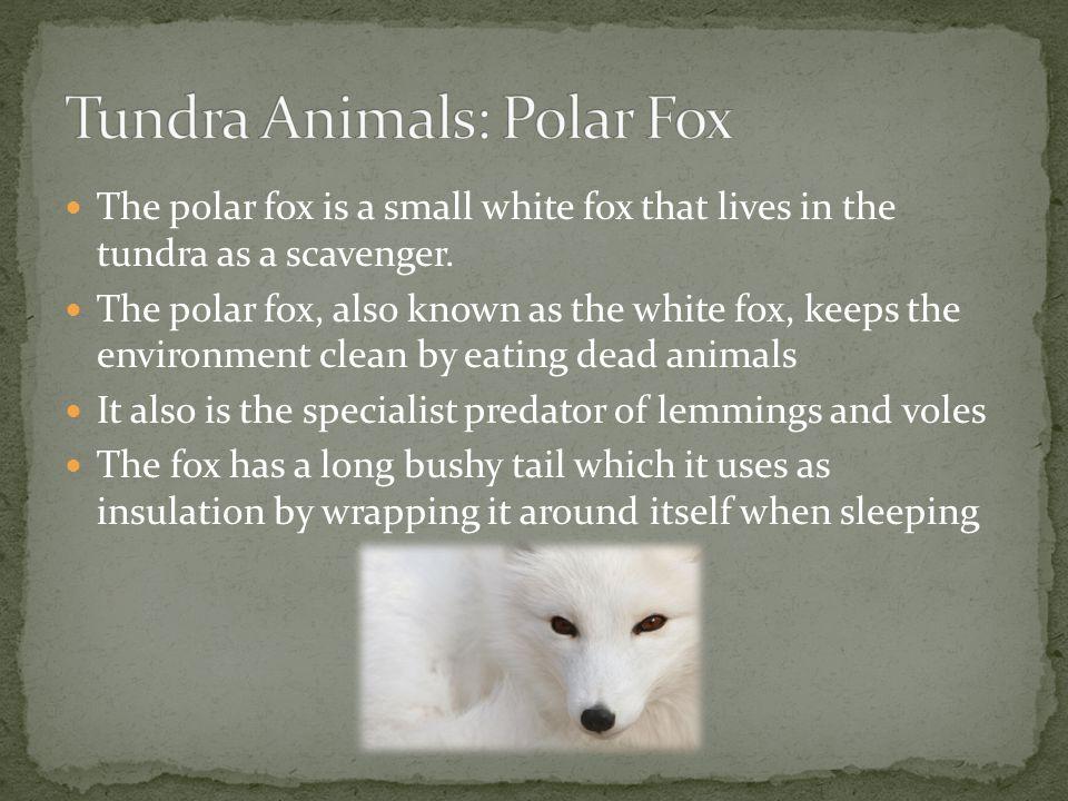 Tundra Animals: Polar Fox