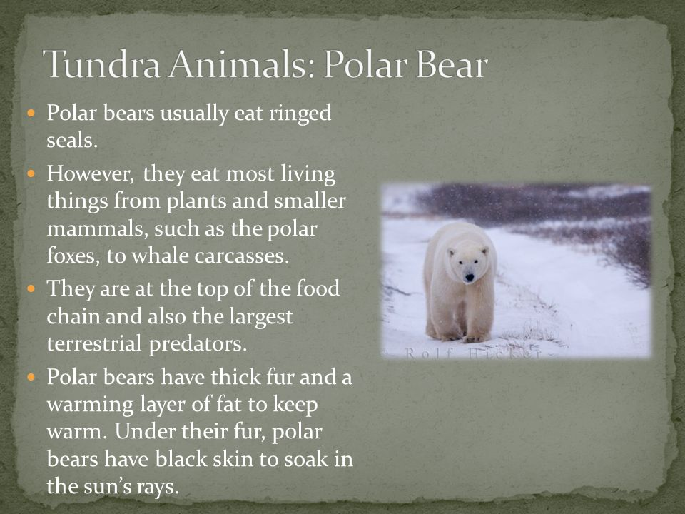 Tundra Animals: Polar Bear
