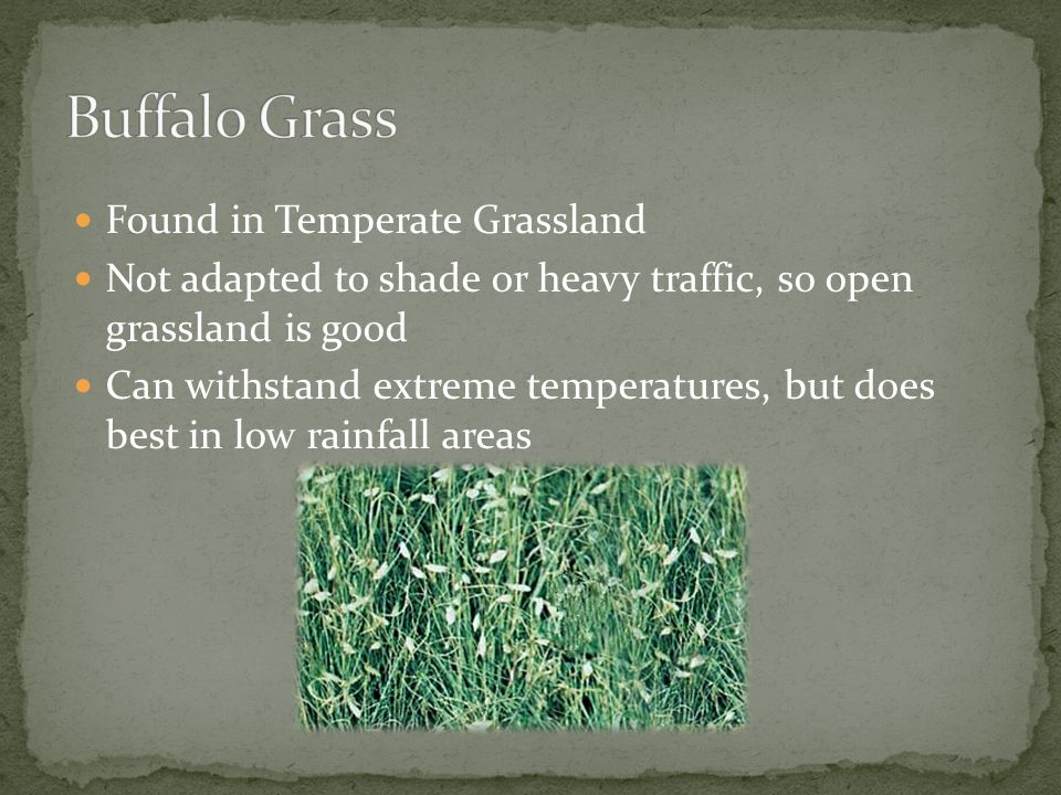 Buffalo Grass Found in Temperate Grassland