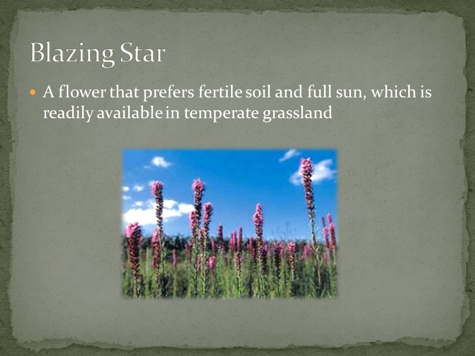Blazing Star A flower that prefers fertile soil and full sun, which is readily available in temperate grassland.