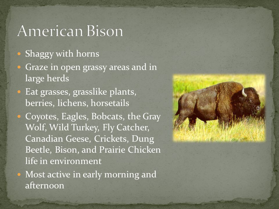 American Bison Shaggy with horns