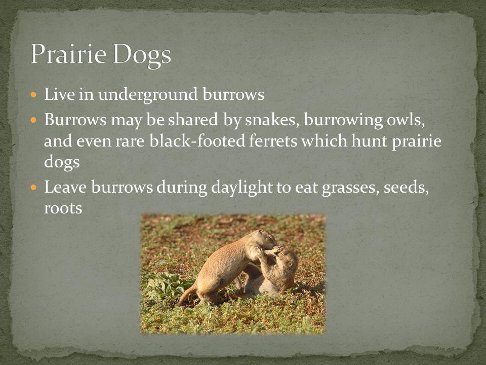 Prairie Dogs Live in underground burrows