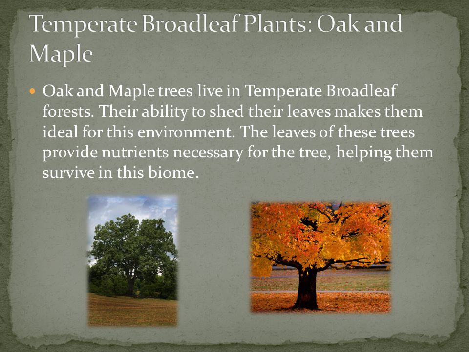 Temperate Broadleaf Plants: Oak and Maple