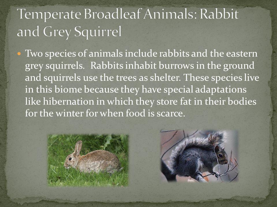 Temperate Broadleaf Animals: Rabbit and Grey Squirrel