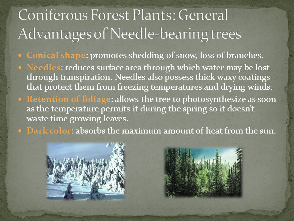 Coniferous Forest Plants: General Advantages of Needle-bearing trees
