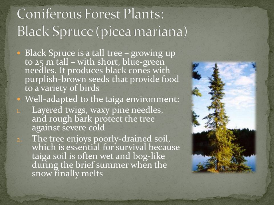 Coniferous Forest Plants: Black Spruce (picea mariana)
