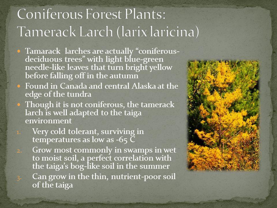 Coniferous Forest Plants: Tamerack Larch (larix laricina)