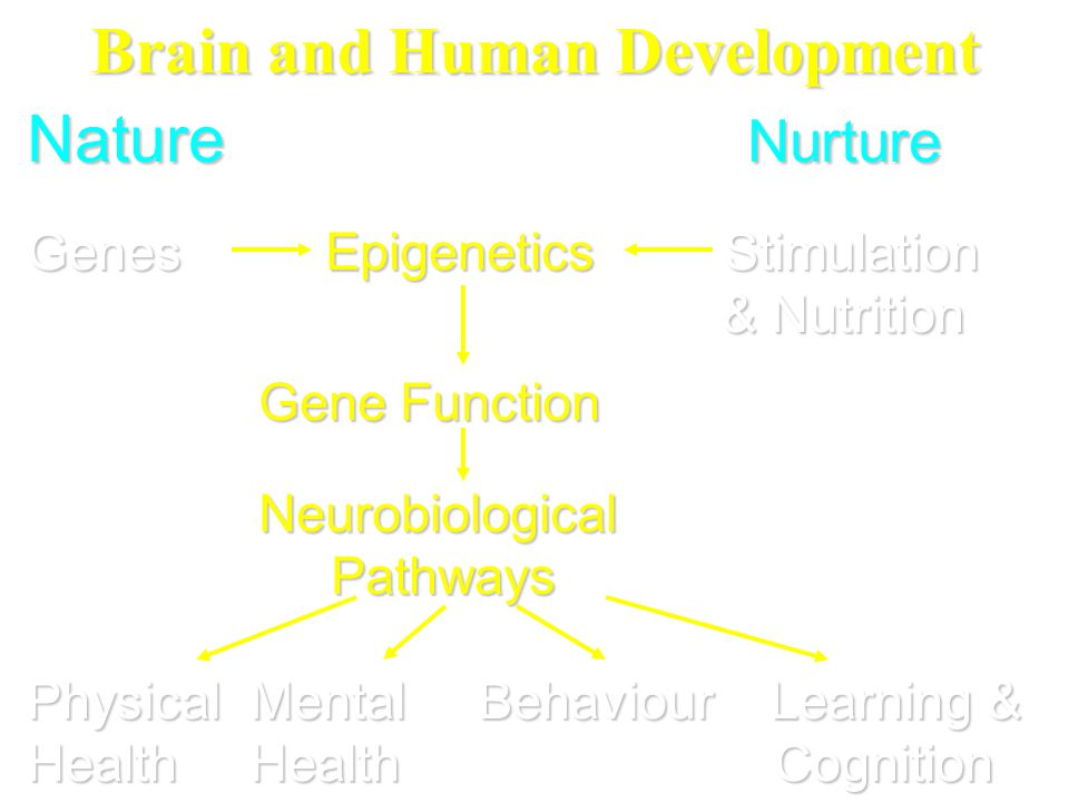 Brain and Human Development