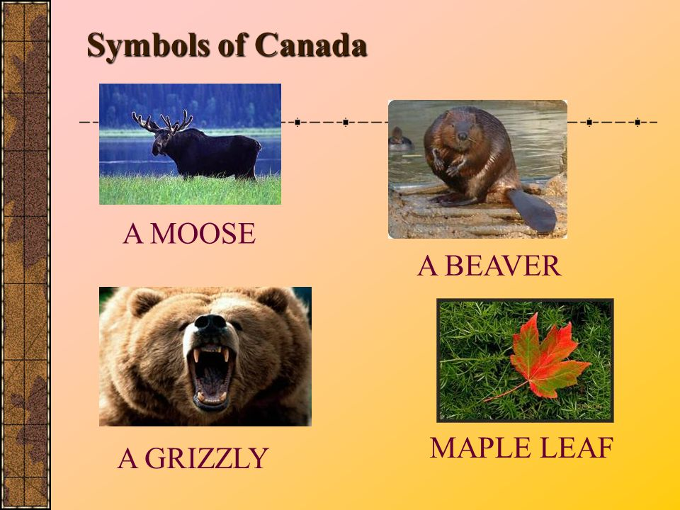 Symbols of Canada A MOOSE A BEAVER MAPLE LEAF A GRIZZLY