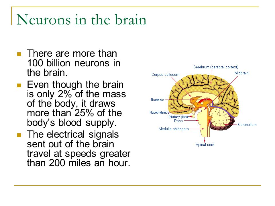 Neurons in the brain There are more than 100 billion neurons in the brain.
