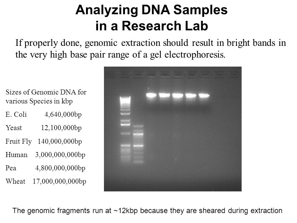 Dna Extraction Outline Purpose Of Dna Extraction Ppt