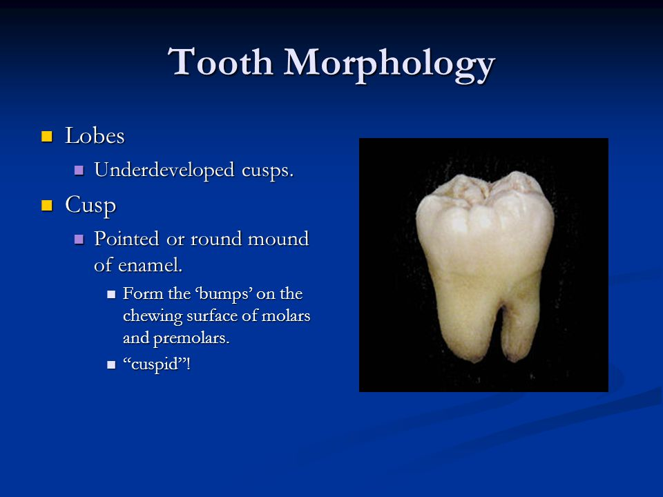 Tooth Morphology Lobes Cusp Underdeveloped cusps.