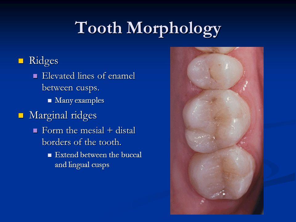 Tooth Morphology Ridges Marginal ridges