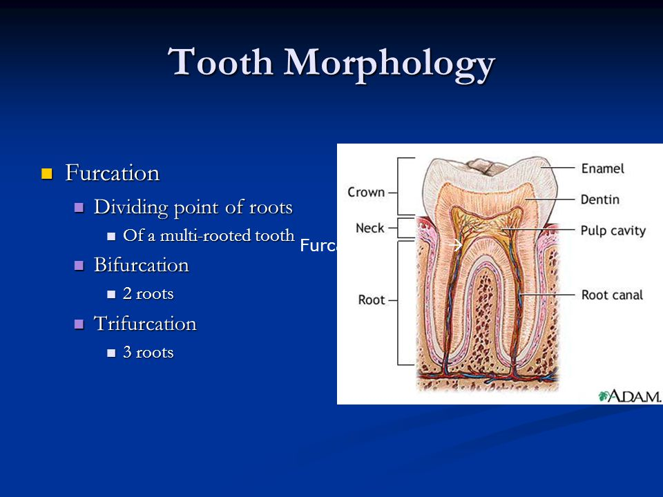 Tooth Morphology Furcation Dividing point of roots Bifurcation
