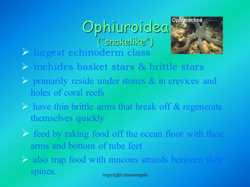 Ophiuroidea ( snakelike )