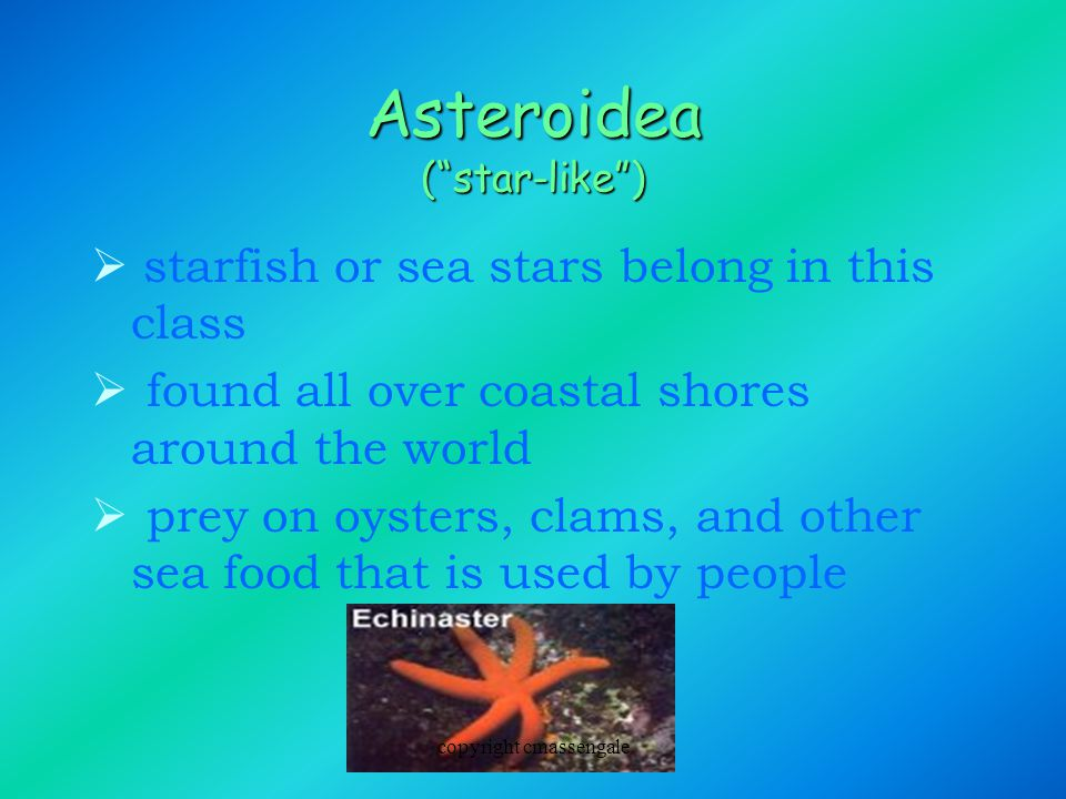 Asteroidea ( star-like )