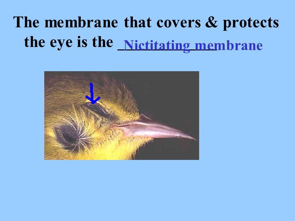 The membrane that covers & protects the eye is the ____________