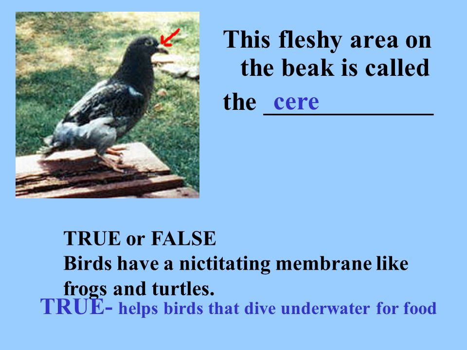 This fleshy area on the beak is called the _____________ cere