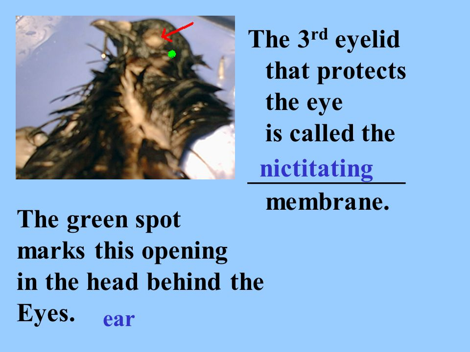 The 3rd eyelid that protects the eye is called the