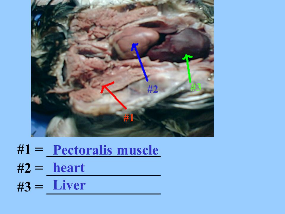 Pectoralis muscle #1 = ________________ #2 = ________________