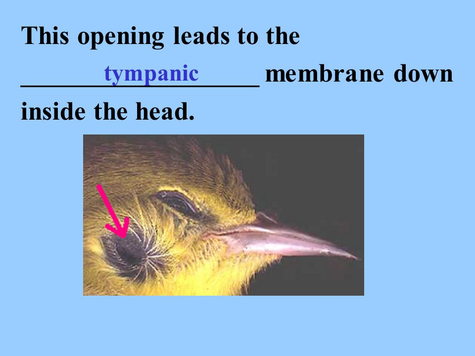 This opening leads to the __________________ membrane down