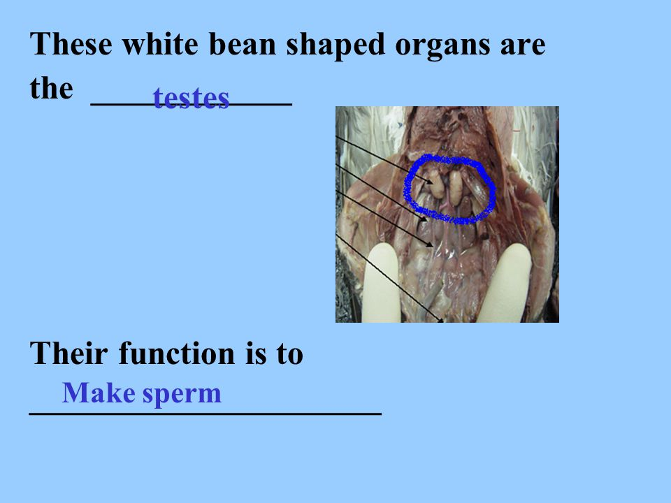 These white bean shaped organs are the ____________