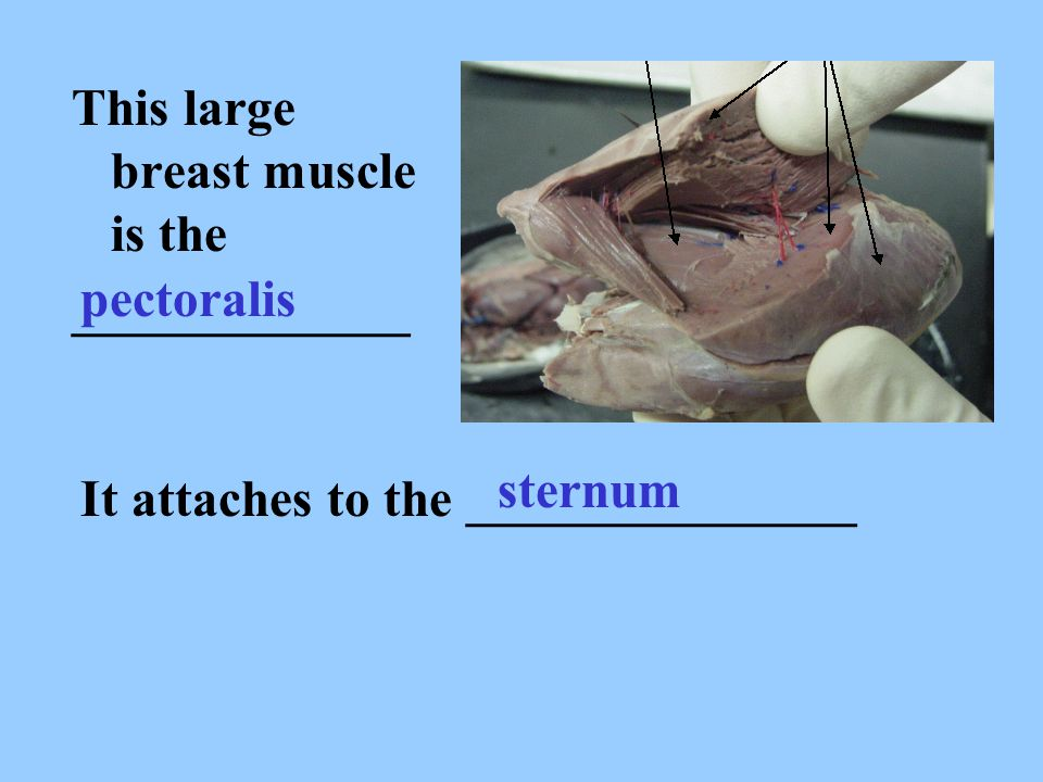 This large breast muscle is the