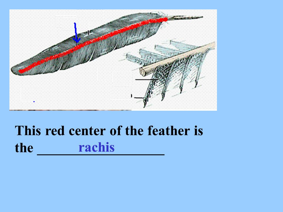 This red center of the feather is the __________________