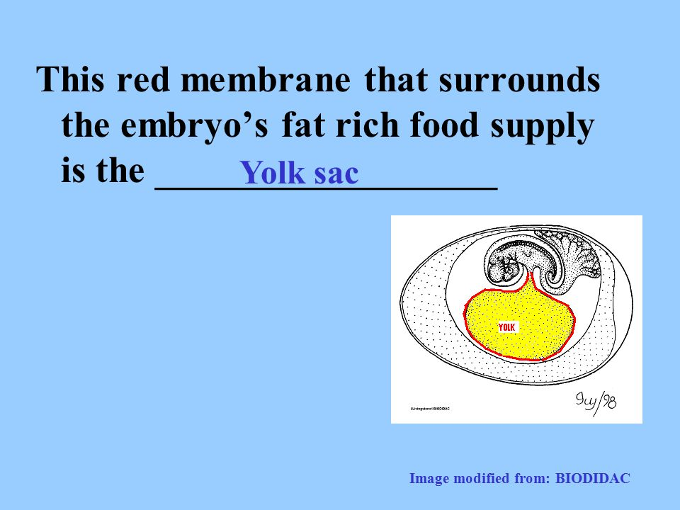 This red membrane that surrounds the embryo's fat rich food supply is the __________________
