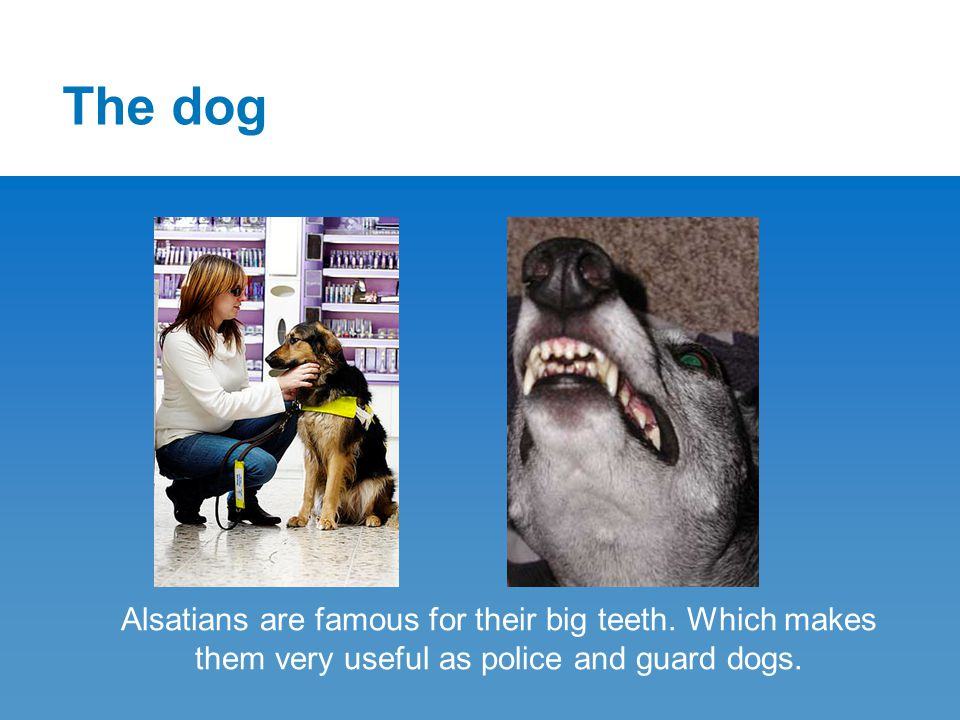 The dog Alsatians are famous for their big teeth.