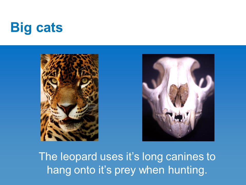 Big cats The leopard uses it's long canines to hang onto it's prey when hunting.