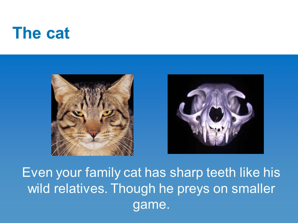 The cat Even your family cat has sharp teeth like his wild relatives.