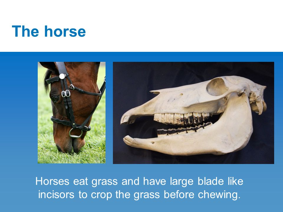 The horse Horses eat grass and have large blade like incisors to crop the grass before chewing.