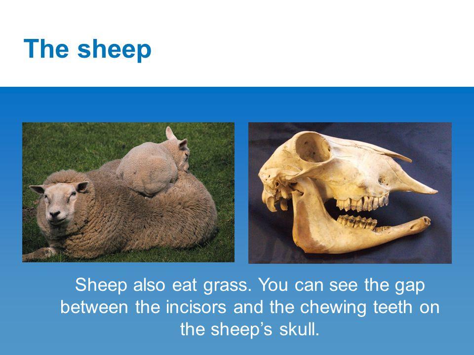 The sheep Sheep also eat grass.