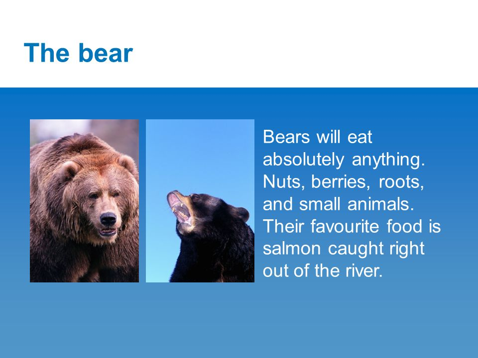 The bear Bears will eat absolutely anything. Nuts, berries, roots, and small animals.