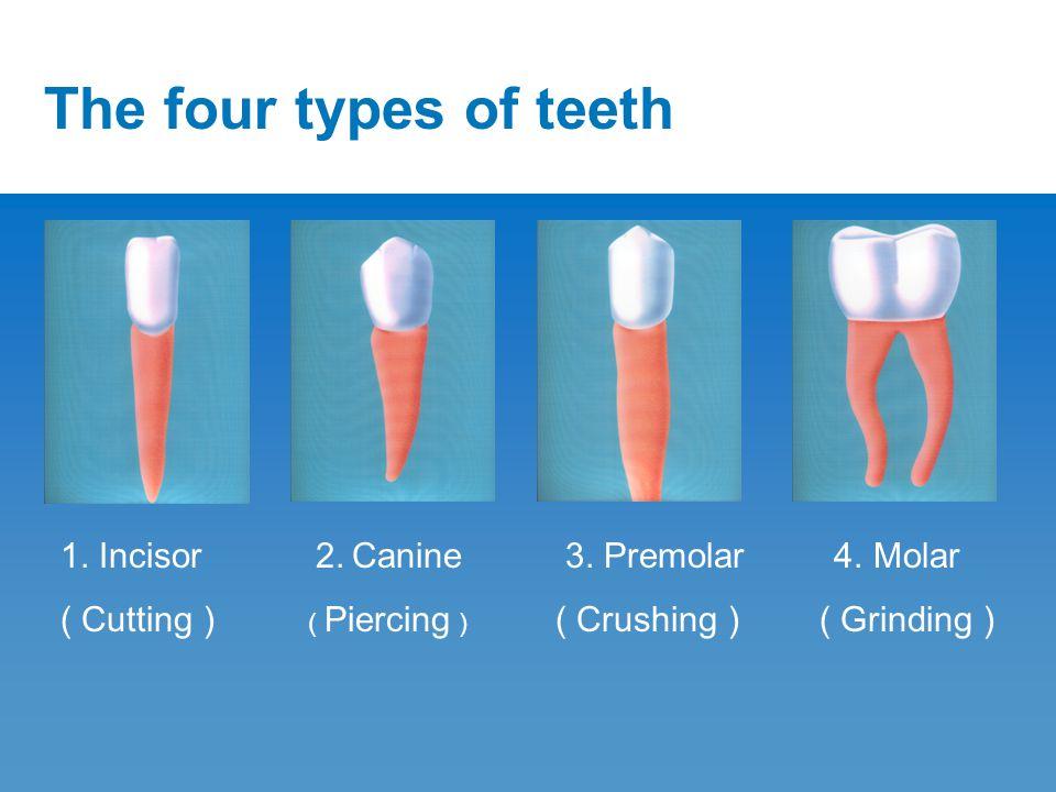 The four types of teeth 1. Incisor ( Cutting ) 3. Premolar