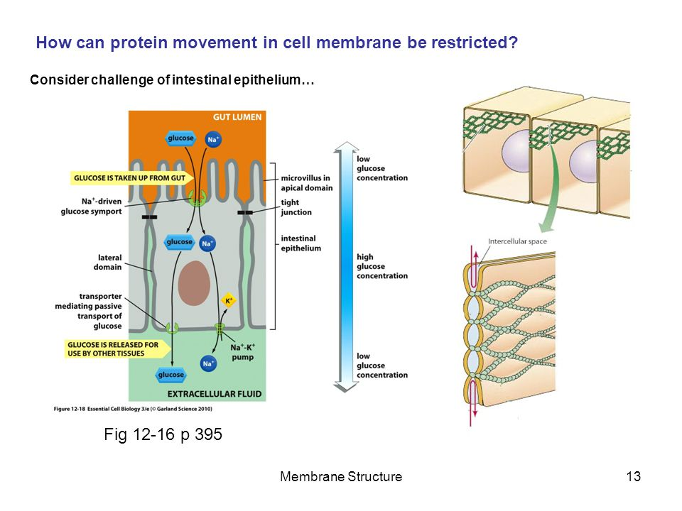 How can protein movement in cell membrane be restricted