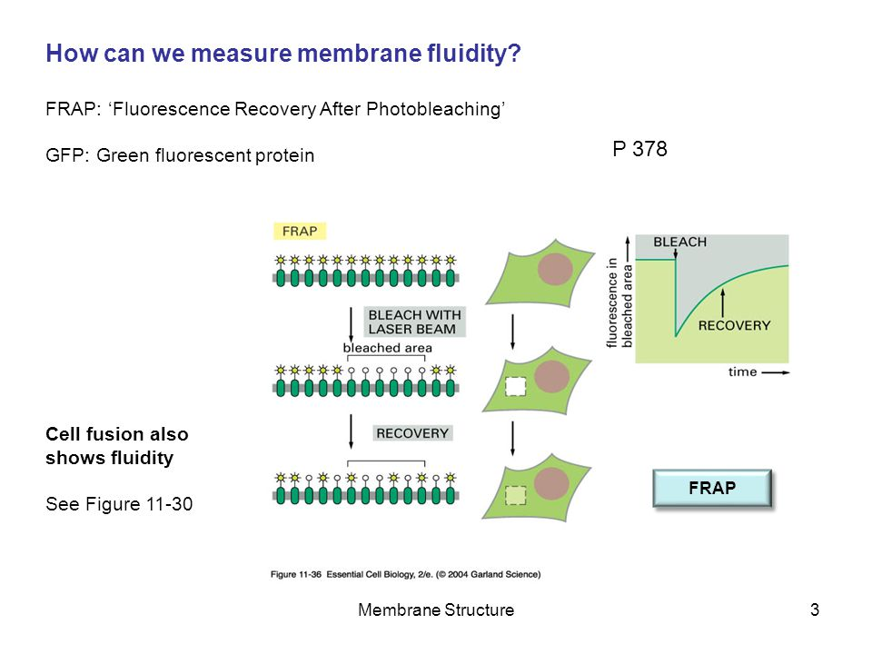 How can we measure membrane fluidity