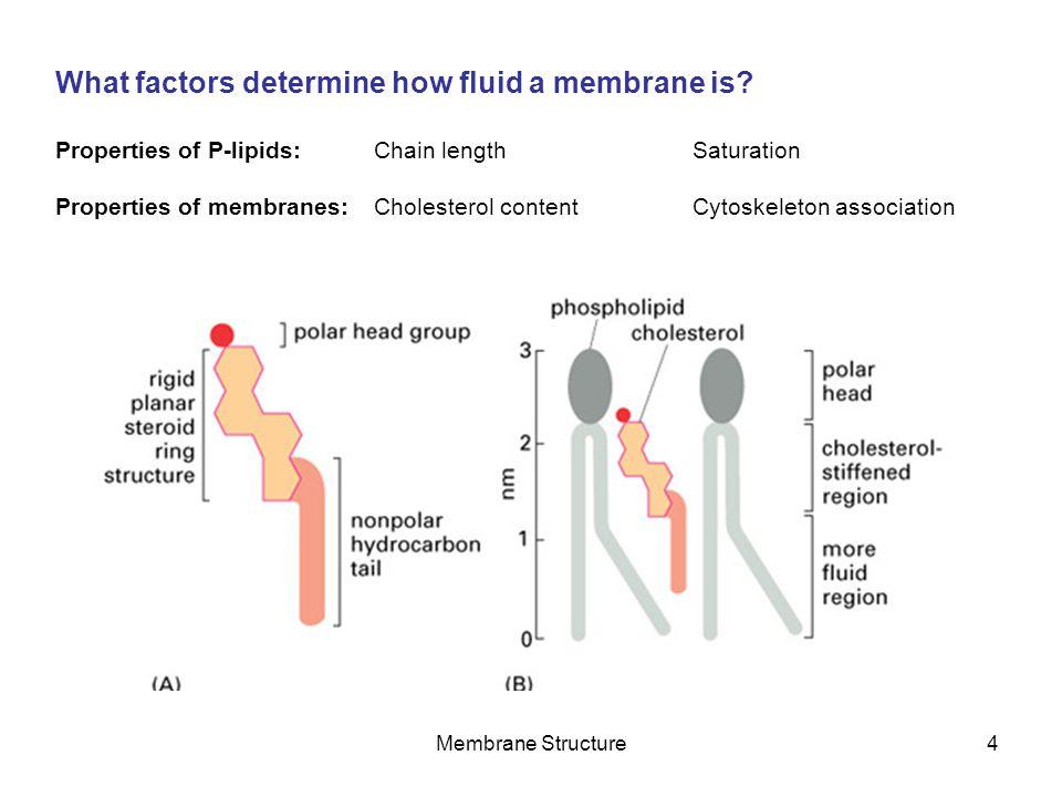 What factors determine how fluid a membrane is