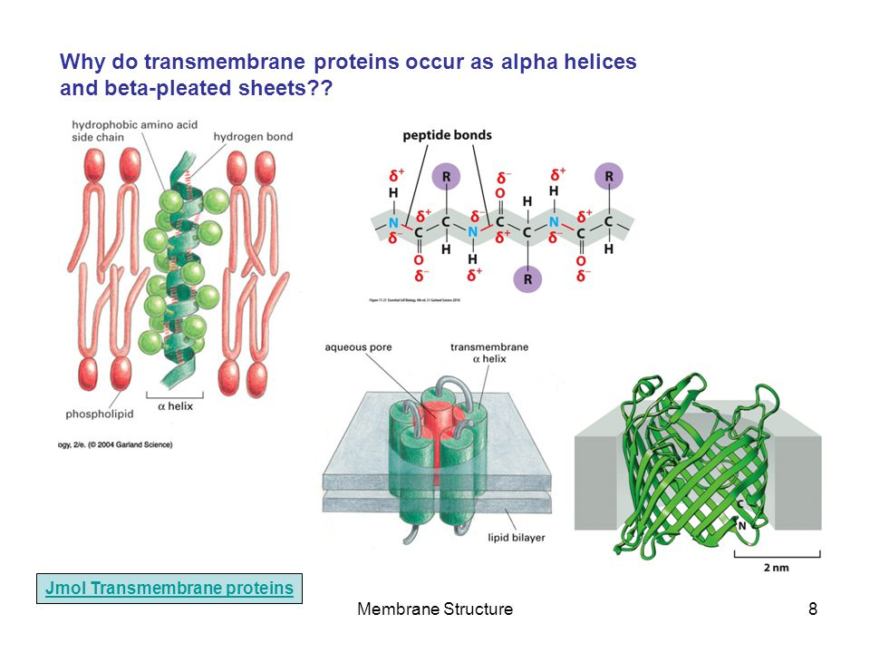 Why do transmembrane proteins occur as alpha helices and beta-pleated sheets