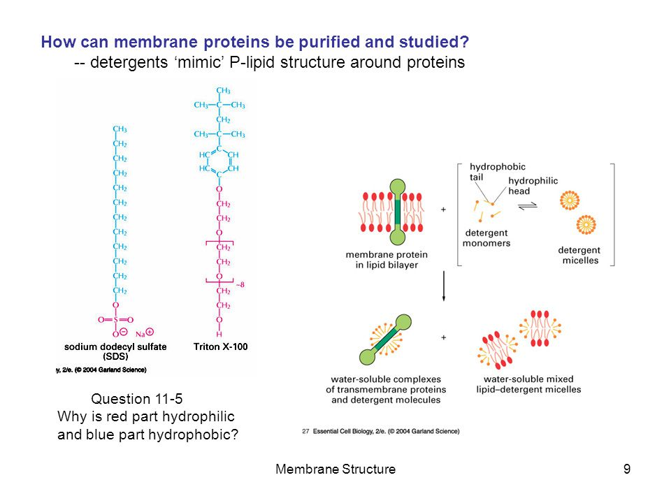 How can membrane proteins be purified and studied