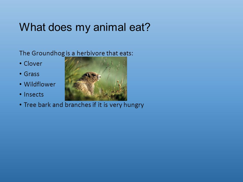What does my animal eat The Groundhog is a herbivore that eats: