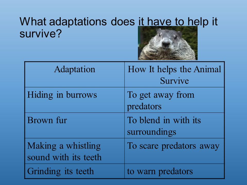 What adaptations does it have to help it survive