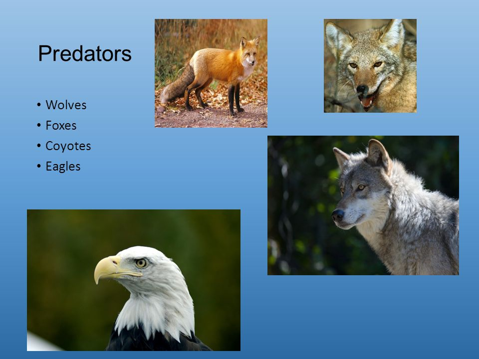 Predators Wolves Foxes Coyotes Eagles