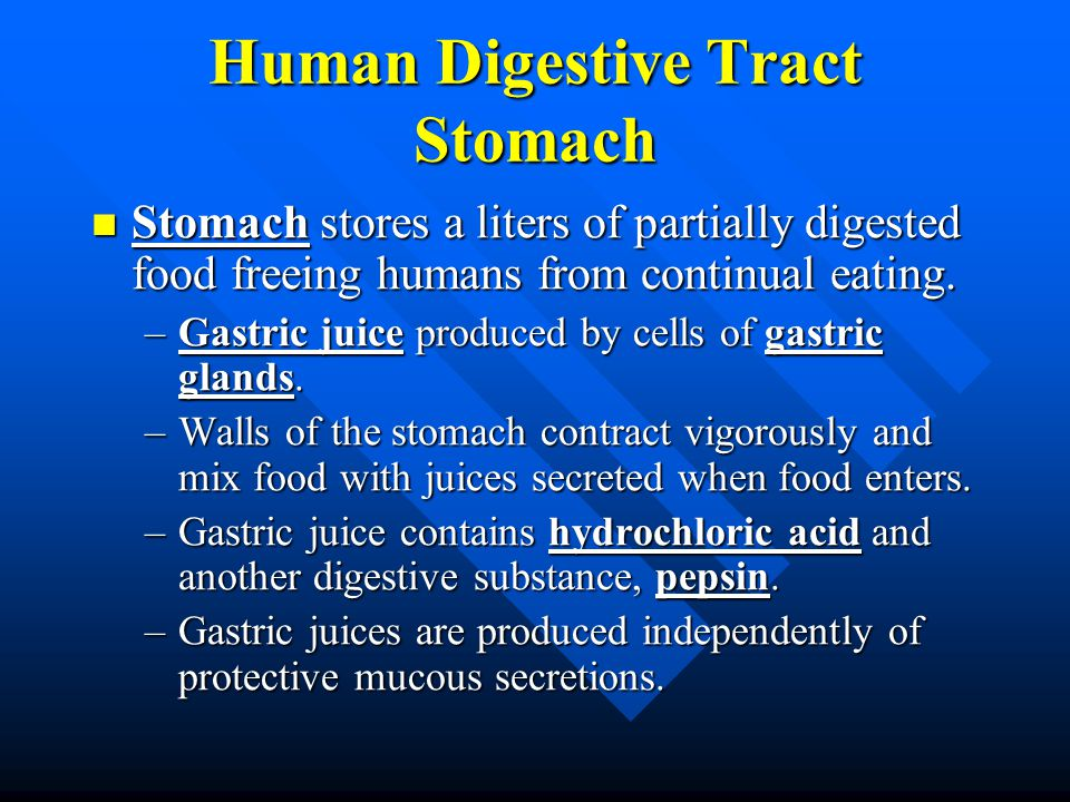 Human Digestive Tract Stomach