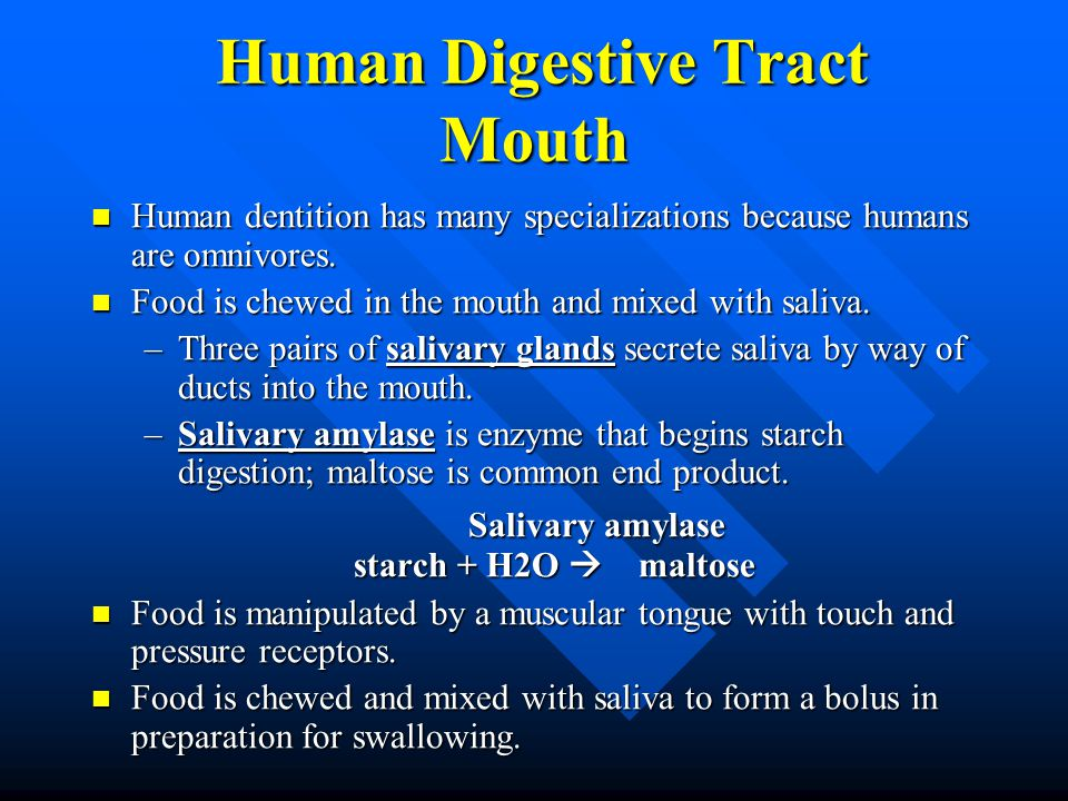Human Digestive Tract Mouth