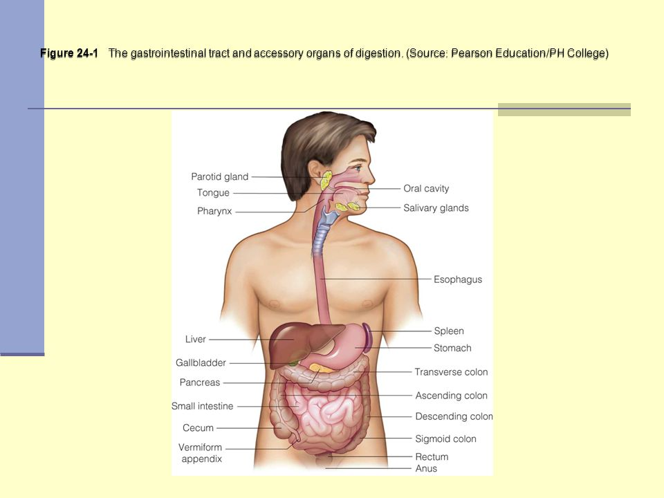 Figure 24-1 The gastrointestinal tract and accessory organs of digestion.