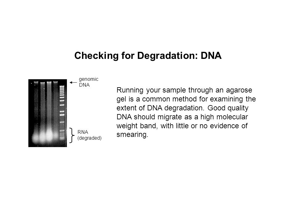 Checking for Degradation: DNA